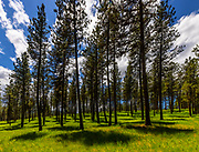 Ponderosa pine trees (Pinus ponderosa) cast shadows on the floor of the Blue Mountain Forest, part of the Wallowa-Whitman National Forest in Oregon.