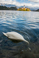 A swan stretches its long neck into the clear water of Lake Bled in Slovenia. In the background on Bled Island is the Church of the Assumption, built in its current form near the end of the 17th century. (October 22, 2013)