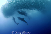 long-beaked common dolphins, Delphinus capensis, attack bait ball of sardines during Sardine Run off east coast of South Africa ( Indian Ocean )