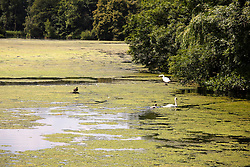 © Licensed to London News Pictures. 13/07/2013. Wakefield, Yorkshire, UK. Hot weather brought out visitors to the Yorkshire Sculpture Park in Yorkshire. Pictured, Algae covers the Upper Lake due to the hot weather. Photo credit : Dave Warren/LNP