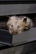 Opposum specimen, part of Tulane University's Natural History Museum collection.