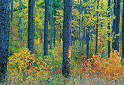 Pines in Fall - Mississippi