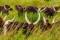 Ankole-Watusi cattle, Nwoya District, Uganda.
