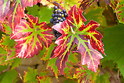 Ripe grapes on a grapevine on stone wall in country garden at Swinbrook in The Cotswolds, Oxfordshire, UK