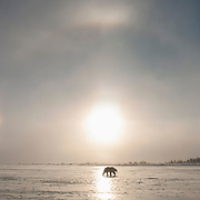 Polar bear (Ursus maritimus) silhouetted in the setting sun with a sundog, while crossing a frozen lake outside of Churchill, Manitoba.