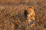 A young male lion, Panthera leo, walking in tall grass.