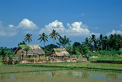 Indonesia, Bali, near Ubud. Coconut palm trees tower above thatched shelters and wet rice fields.