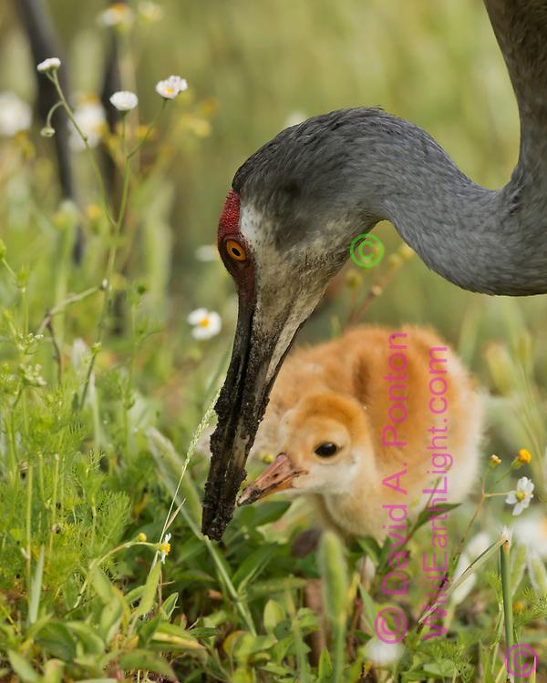 Sandhill crane colt eagerly anticipates food as adult digs wet soil with its beak, © David A. Ponton
