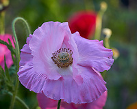 Pink Poppies. Image taken with a Leica TL-2 camera and 55-135 mm lens