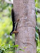 Prevost's squirrel (Callosciurus prevostii waringensis) from Kalimantan, Borneo, Indonesia.