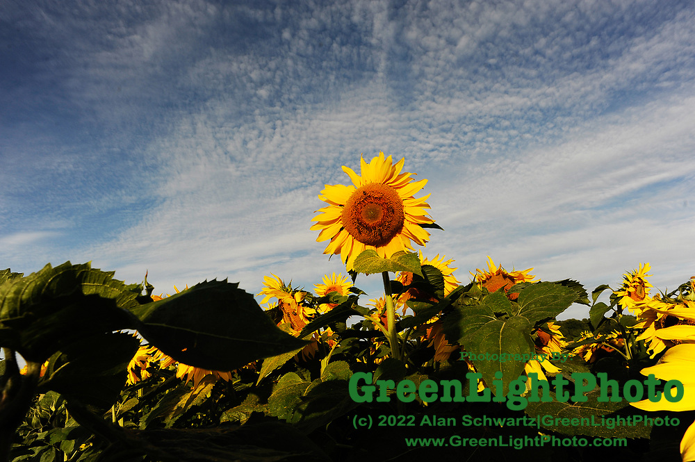 Sunflower in a field in Rochester, NY, USA. Photo by Alan Schwartz/GreenLightPhoto. Please contact GreenLightPhoto for additional information.