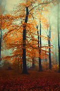 Large beech tree illuminated by the rising sun shining through the mist. Textured photograph.