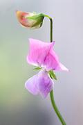 Lathyrus odoratus 'Lady Turral' - sweet pea