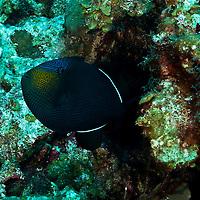 Black Durgon, Melichthys niger,(Bloch, 1786), Chinese Wall, Grand Cayman