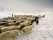 """Sheep herd leaving in the morning. Wolf attack on livestock is common..Campment of the """"second"""" Sary Tash. Ustad's Ghulam's camp..Winter expedition through the Wakhan Corridor and into the Afghan Pamir mountains, to document the life of the Afghan Kyrgyz tribe. January/February 2008. Afghanistan attack on livestock is common..Campment of the """"second"""" Sary Tash. Ustad's Ghulam's camp..Winter expedition through the Wakhan Corridor and into the Afghan Pamir mountains, to document the life of the Afghan Kyrgyz tribe. January/February 2008. Afghanistan"""