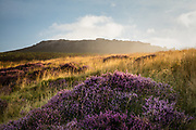 Blossoming purple heather below a mist-covered Higger Tor. A glorious start to a summer's day in the Peak District National Park. Derbyshire, England in August.