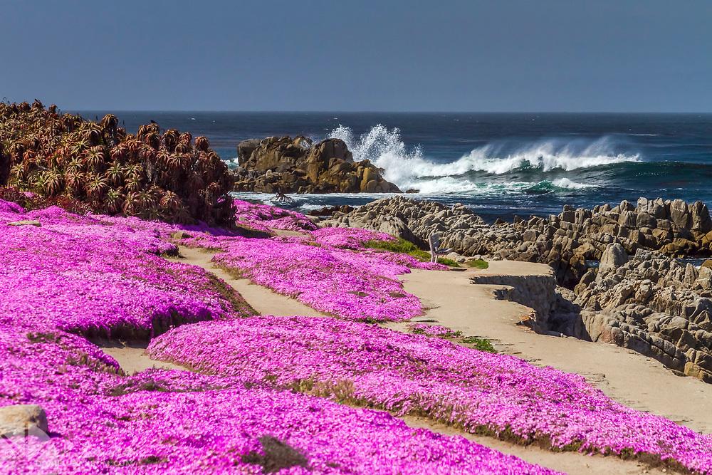 Seasonal Pink Carpet of flowers along Oceanview Blvd, Pacific Grove, California