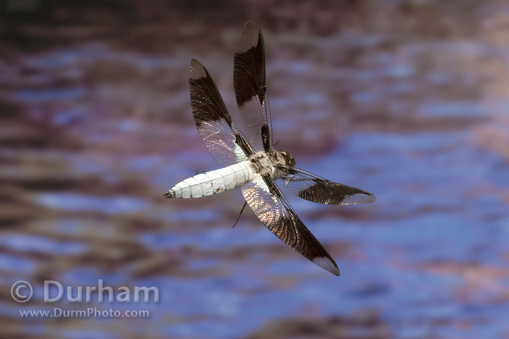 A male common whitetail (Plathemis lydia) in flight in the coastal mountains of Oregon. Photographed with a high-speed camera.