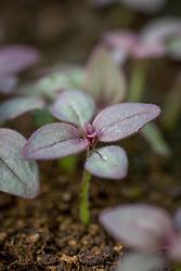 Young seedlings of Antirrhinum 'Liberty Crimson'