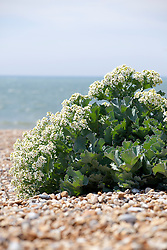 Sea Kale on the beach at Dungeness. Crambe maritima