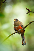 Collared Trogon female, Mashpi Reserve, Ecuador, South America