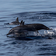 Spinner dolphins (Stenella longirostris) with a calf, Puerto Princesa, Palawan, the Philippines.