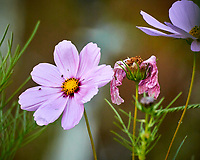 Cosmos flower. Image taken with a Nikon N1V3 camera and 70-300 mm  VR lens