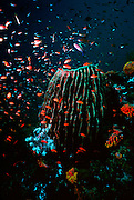 UNDERWATER MARINE LIFE WEST PACIFIC, Philippine Islands coral reef environment