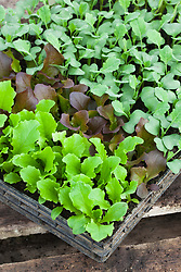 Young salad leaf seedlings