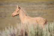 Wild mustang foal in Wyoming