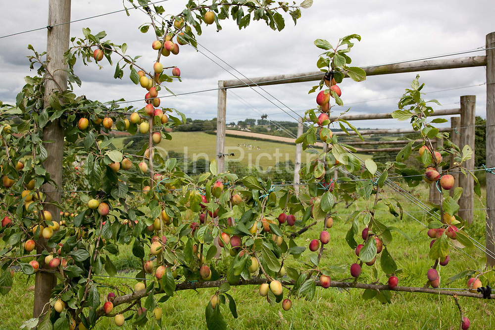 Apples in an orchard on the vine, Riverford organic farm, Devon, UK food industry