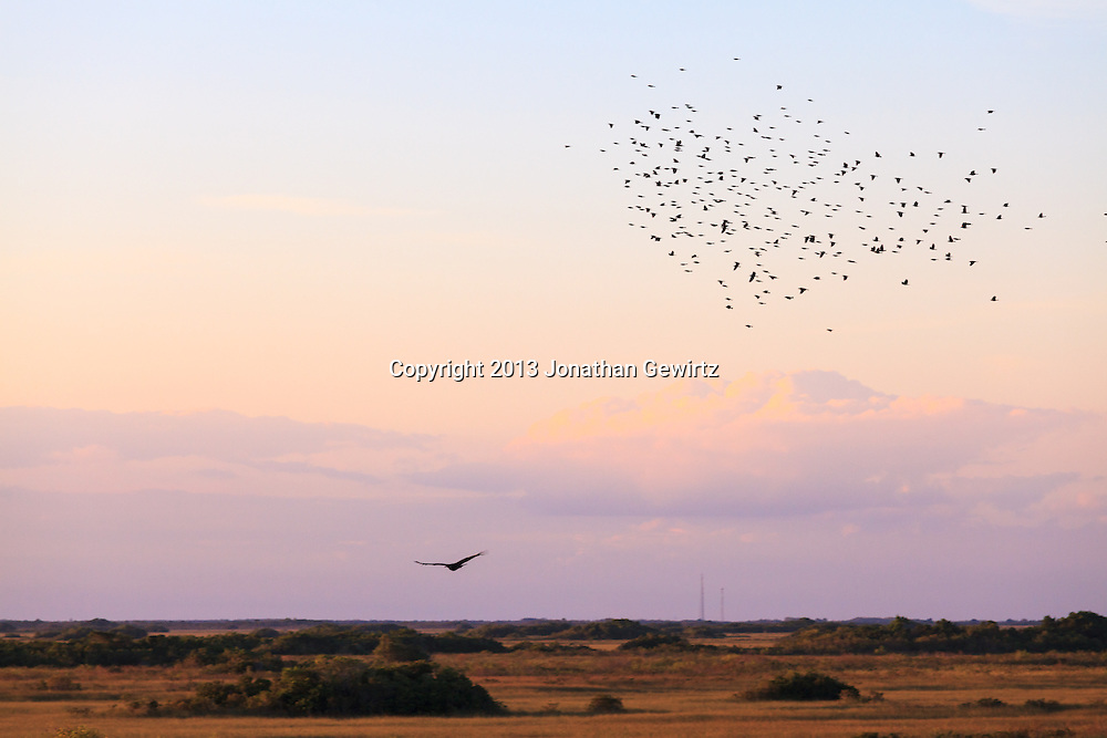 A Black Vulture (Coragyps atratus) in flight, seemingly pursued by a flock of crows (Corvus), shortly before sunset in the Shark Valley section of Everglades National Park, Florida. WATERMARKS WILL NOT APPEAR ON PRINTS OR LICENSED IMAGES.