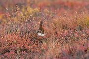 Willow ptarmigan in sub-arctic tundra habitat