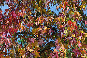 Autumn color leaves on maple tree in Bordeaux, France