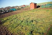 Grass used for green fertiliser growing in winter allotment gardens, Shottisham, Suffolk, England