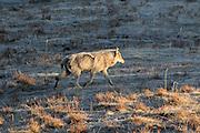 Gray wolf in western habitat