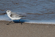 A sanderling in nonbreeding plumage scurries along the water's edge.