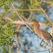 Green heron surverying the area from its perch.