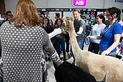30/09/2019 Repro free:  The  Alpacas from Farmyard in your School yard who paid a visit to the Portershed. Photo:Andrew Downes, xposure.ie