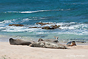Hawaiian monk seals, Monachus schauinslandi; dominant male reacts to the approach of a juvenile that has just come out of the water; Critically Endangered endemic species, west end of Molokai, Hawaii ( Central Pacific Ocean )
