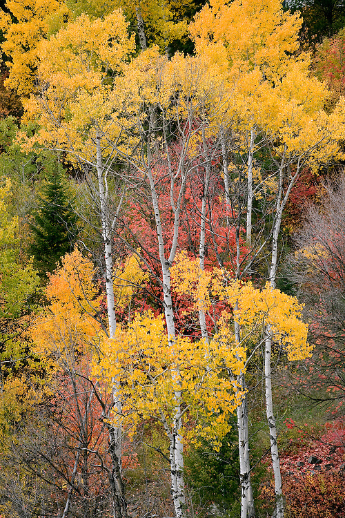 Aspen trees produce red and gold leaves near Swan Valley, Idaho.