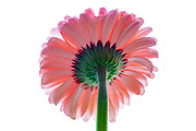 Pink Barberton daisy is the common name for the Gebera Jamesonii, also known as the Transvaal or Gerbera daisy. The large range of striking flower colors has enabled this flowering pot plant to become a popular house plant choice for a number of years.
