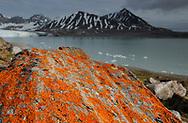 Lichen (Caloplaca sp), Feiringfjellet, Kongsfjorden, Svalbard, Norway
