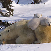 Polar Bear (Ursus maritimus) Mother and small cubs. Hudson Bay, Canada