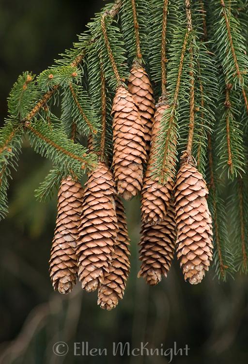 Norway Spruce Pine Cones