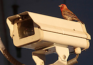 Goshen, New York - A house finch (Carpodacus mexicanus ) perches on a security camera at a gas station on Saturday, May 29, 2010.