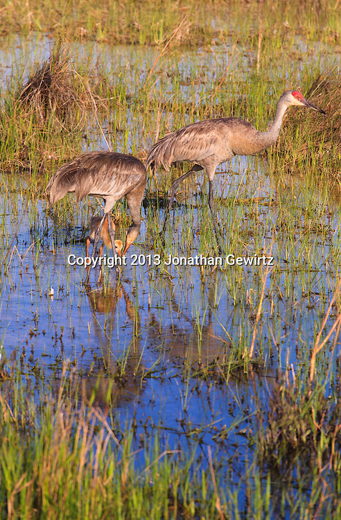 A pair of adult Sandhill Cranes (Grus canadensis) is accompanied by a Sandhill Crane chick while foraging for food on flooded sawgrass prairie in the Shark Valley section of Everglades National Park, Florida. WATERMARKS WILL NOT APPEAR ON PRINTS OR LICENSED IMAGES.