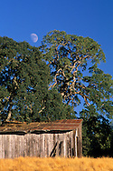 Moon over trees and old wood barn, Above Shenandoah Valley, Amador County, California