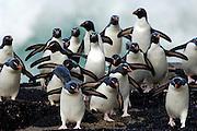 Gerade dem Meer entstiegen sind die Felsenpinguine (Eudyptes chrysocome) noch schwieriger von den anderen Schopfpinguinarten zu unterscheiden, da dann die sonst abstehenden Federkronen naß anliegen.|Just after they have left the water the distinctive features of the crest are invisible in the wet rockhopper penguins (Eudyptes chrysocome), making it more difficult to tell it apart from the other species of crested penguins.