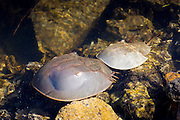Breeding pair Horseshoe Crabs, Limulus polyphemus, at J.N. Ding Darling National Wildlife Reserve, Captiva Island, Florida USA